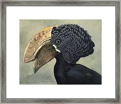 Crested Hornbill Framed Print by Louis Agassiz Fuertes