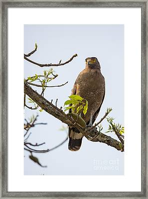 Crested Serpent Eagle, India Framed Print by B. G. Thomson