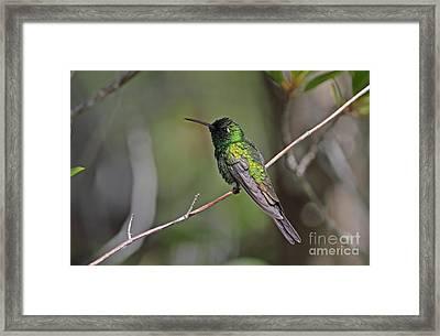 Cuban Emerald Hummingbird Framed Print