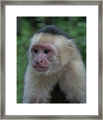 Curious Capuchin Framed Print by Larry Linton