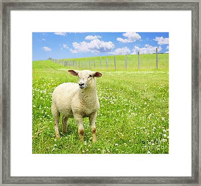 Cute Young Sheep Framed Print