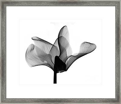 Cyclamen Flower X-ray Framed Print