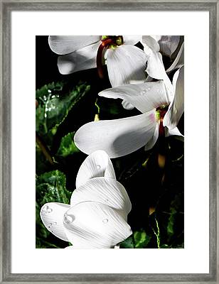 Cyclamen Framed Print by Mindy Newman