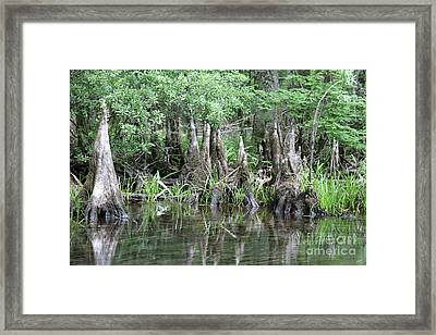 Cypress Knees  Framed Print by Carol Groenen