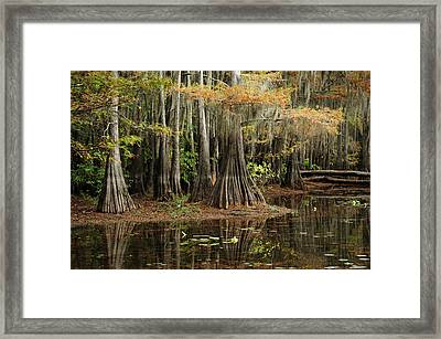 Cypress Trees In Caddo Lake Framed Print by Iris Greenwell