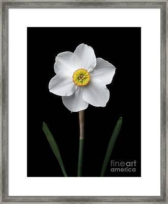 Daffodil 'cantabile' Framed Print