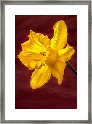 Daffodil Glow Framed Print