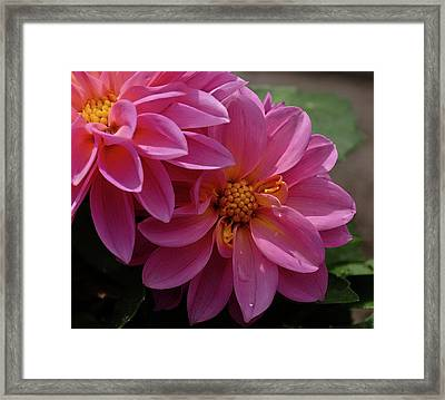 Dahlia Beauty Framed Print