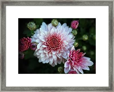 Dahlia Burst Framed Print