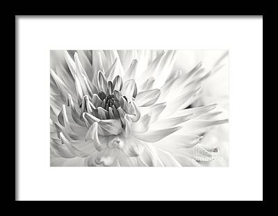 Dahlia Framed Prints