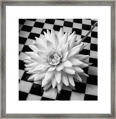 Dahlia On Checker Background Framed Print by Garry Gay