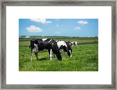Dairy Cows In Cornwall Framed Print by Amanda Elwell