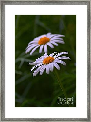 Daisies Framed Print by Tim Good