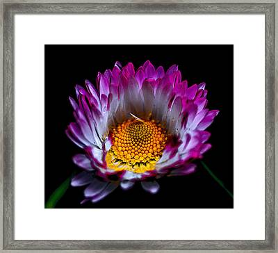 Daisy Framed Print by Martin Newman