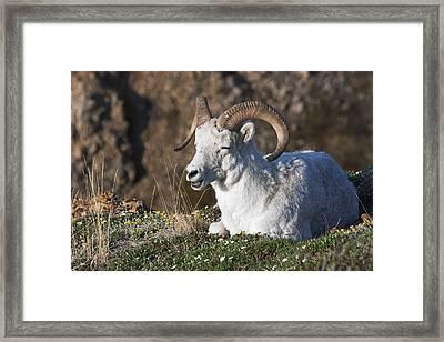 Dall Sheep Ram  Ovis Dalli Dalli  Lying Framed Print by Alissa Crandall