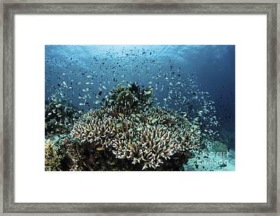 Damselfish Swim Above Corals In Komodo Framed Print