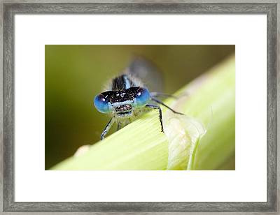 Damselfly Framed Print by Andre Goncalves