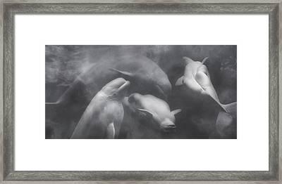 Dancing Belugas  Framed Print by Betsy Knapp