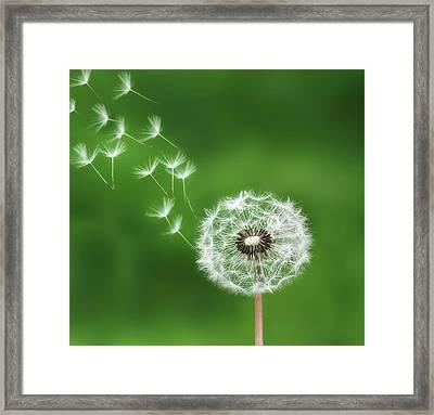 Dandelion Framed Print by Bess Hamiti