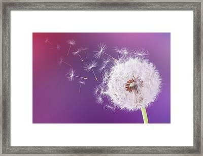 Dandelion Flying On Magenta Background Framed Print