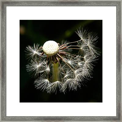Dandelion Framed Print by PIXELS  XPOSED Ralph A Ledergerber Photography