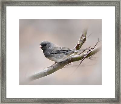 Dark-eyed Junco Framed Print by Ann Bridges