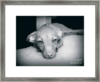 Day Dreaming Doxie Framed Print