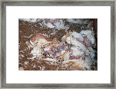 Dead Chickens At Poultry Farm Framed Print