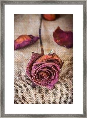 Dead Rose Framed Print