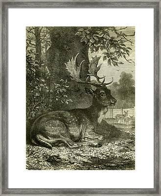 Deer Framed Print by Austrian School