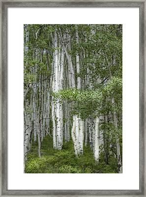 Delicate Aspens. Colorado Framed Print