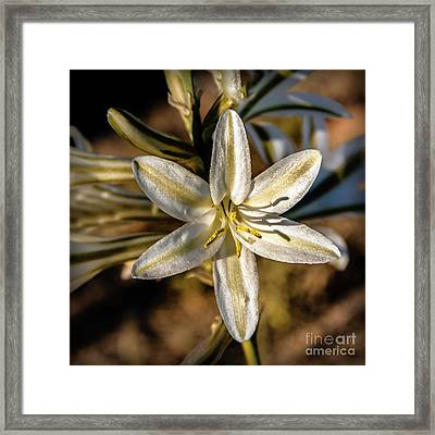 Desert Lily Framed Print by Robert Bales