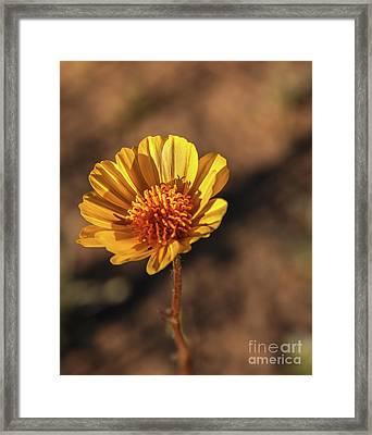 Framed Print featuring the photograph Desert Sunflower by Robert Bales