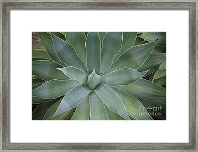 Detail Of An Agave Attenuata Framed Print