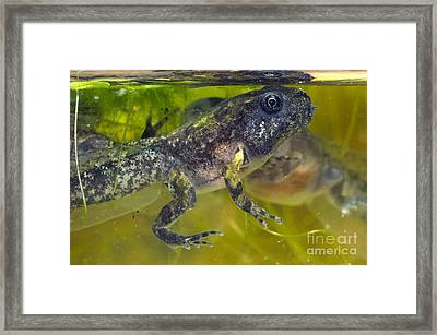 Developing Frog Framed Print by Angel Fitor