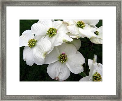 Dogwood Branch Framed Print by Carol Sweetwood