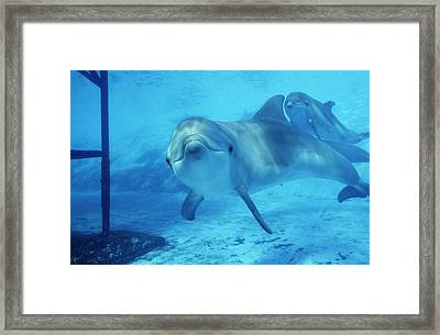 Dolphins In Captivity Framed Print by Alexis Rosenfeld