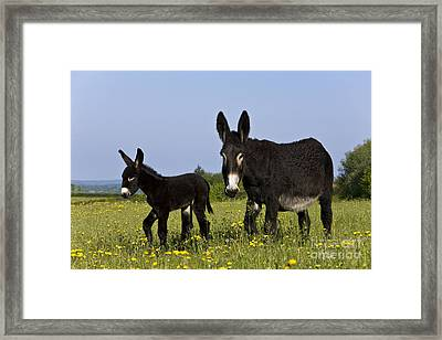 Donkey And Foal Framed Print