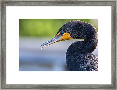 Double-crested Cormorant Framed Print by Saija  Lehtonen