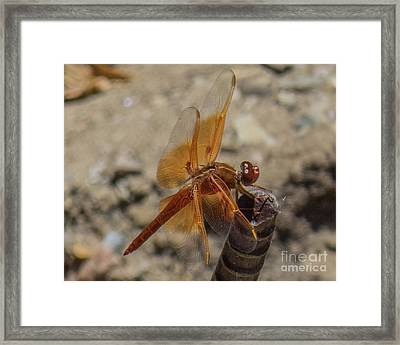 Dragonfly 18 Framed Print