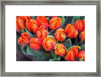 Dutch Orange Tulips Framed Print by Jenny Rainbow