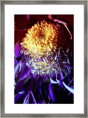 Dying Purple Chrysanthemum Flower Background Framed Print