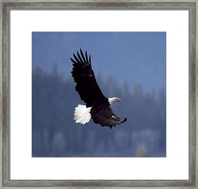 Eagle In Flight Framed Print by Clarence Alford