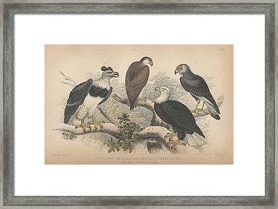 Eagles Framed Print by Rob Dreyer