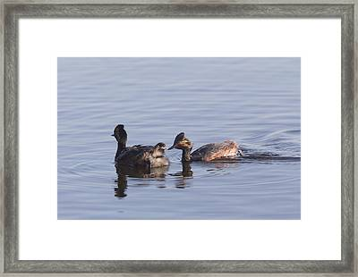 Eared Grebe With Babies Framed Print