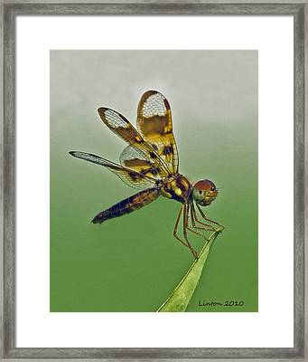 Eastern Amberwing Dragonfly Framed Print by Larry Linton
