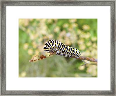 Eastern Black Swallowtail Caterpillar  Framed Print