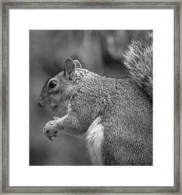 Eastern Grey Squirrel  Framed Print by Martin Newman