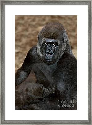 Eastern Lowland Gorilla Framed Print by Gerard Lacz