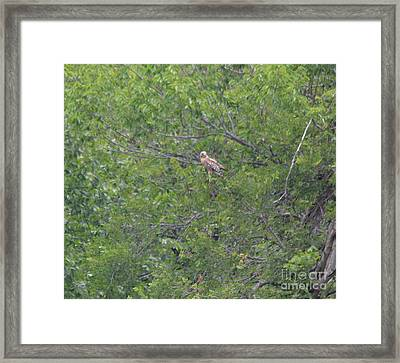 Eastern Red Tailed Hawk 2 Framed Print by Ruth Housley
